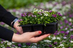 Seedling holding Close up of pretty pink, white and purple Alyssum flowers,  the Stock Photos