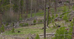 Snap zoom to black bear sow angrily climbing tree trunk to nip at cub Stock Footage