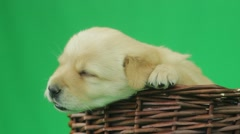 Golden Labrador puppy muzzle in a wicker basket on a green background, close-up Stock Footage