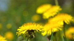 Yellow dandelions trembling in the wind 4K video Stock Footage