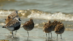 Shorebirds, Birds, Flock, Coast, Beach, Migration Stock Footage