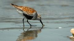 Shorebirds, Birds, Flock, Beach, Feed Stock Footage