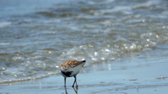 Shorebirds, Birds, Flock, Coast, Beach, Migration Stock Footage