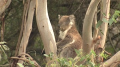 Wild Koala in Crotch of Eucalyptus Tree Yawning Stock Footage