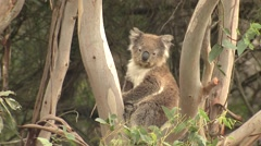 Wild Koala in Crotch of Eucalyptus Tree Looking at Camera Stock Footage