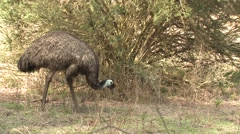 Emu Walking and Foraging in Australia Stock Footage