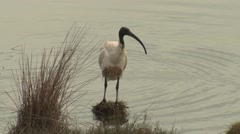 Australian Ibis Bird in Wetland Marsh in Australia Stock Footage