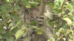 Wild Koala in Eucalyptus Tree Feeding on Leaves in Australia Stock Footage
