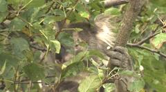 Koala Feeding on Eucalyptus Leaves in Tree in Wild in Australia Stock Footage