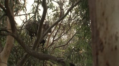 Koala Climbing and Walking on Branches in Eucalyptus Forest Stock Footage