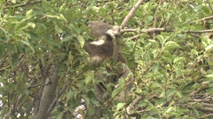 Wild Koala Feeding on Eucalytpus Leaves in Tree in Australia Stock Footage