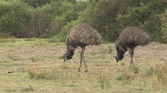Pair of Emu Feeding in Clearing at Wilsons Promontory National Park - stock footage