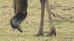 Emu Flightless Bird Feeding Feet Legs and Beak Stock Footage