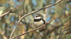 Diamond Firetail Finch Songbird in Australia Eucalyptus Forest Stock Footage