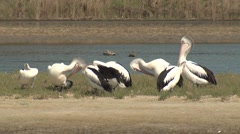 Australian Pelican Flock on Mudflat in Estuary Bay in Australia Stock Footage
