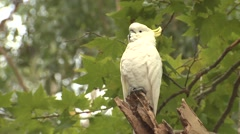 White Sulphur-crested Cockatoo Parrot in Australia Eucalyptus Forest Stock Footage