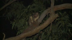 Common Brushtail Possum at Night in Tree in Eucalyptus Forest Stock Footage