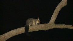 Common Brushtail Possum at Night in Eucalyptus Forest in Australia Stock Footage