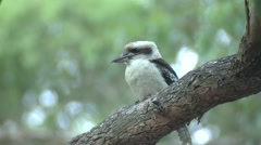 Laughing Kookaburra Bird in Eucalyptus Forest in Australia - stock footage