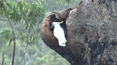 Sulphur-crested White Cockatoo Parrot in Eucalyptus Forest in Australia Stock Footage