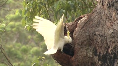 Sulphur-crested Cockatoo White Parrot Displaying in Eucalyptus Forest Stock Footage