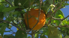 Orange Grapefruit Harvest Farm Picker Looking Closeup Choose Best Garden Fruit Stock Footage
