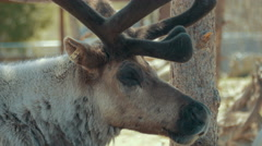 4K - Male reindeer camera closeup - stock footage