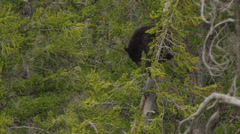 Black bear cub in top of pine tree peers down below Stock Footage