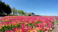 Tulips in the field in Holland. 4K Stock Footage