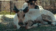 4K - Female reindeer on grass near male Stock Footage