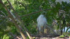 Great Egret young in nest Stock Footage