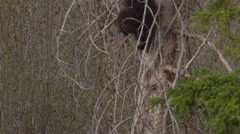 Black bear cub climbing down tree with dead limbs - stock footage
