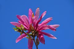 Pink magnolia flower close up over blue sky Stock Photos