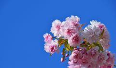 Pink cherry blossom over blue sky - stock photo