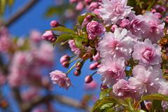 Pink cherry blossom over blue sky and flowers Stock Photos