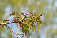 Pink cherry blossom over blue sky and green Stock Photos