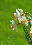 White narcissus flowers over green - stock photo
