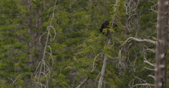 Medium black bear cub draped over branches at top of pine tree Stock Footage