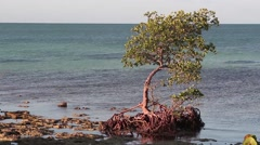 Red Mangrove Stock Footage