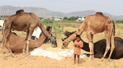 Young boy, man and camel involved in Pushkar Camel Mela, India Stock Footage