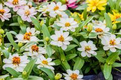 Daisy Flower   white color in garden Stock Photos