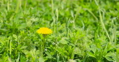 Yellow Dandelion in green farm field close DCI 4K Stock Footage
