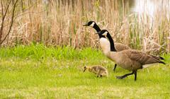 Goose Parents Stands By Offspring Coming Ashore to Rest - stock photo
