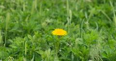 Beautiful yellow Dandelion weed in green farm field DCI 4K Stock Footage