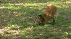 A Maned Wolf  (Chrysocyon brachyurus) eating insects in the grass. Stock Footage