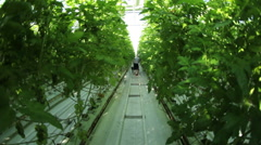 A woman harvests tomatoes in the greenhouse.Green tomatoes. - stock footage