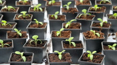 Seedlings of vegetable crops on an industrial scale, in the greenhouse. - stock footage
