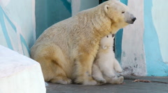 White baby bear with his mother Stock Footage