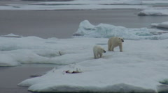 Mother polar bear and her cub on cold ice floe. Stock Footage