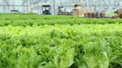 Growing lettuce in the greenhouse .Horizontal panorama. - stock footage